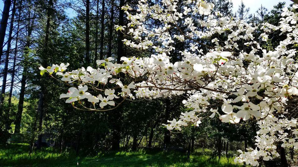 Dogwood tree Dogwood Tree Dogwood Blossom Dogwoodflowers Dogwood Flowers Spring Flowers Springtime Spring