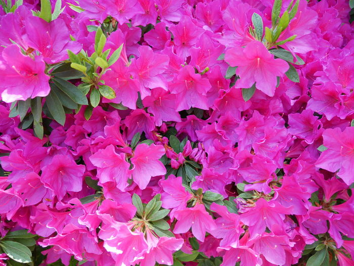 Azaleas In Bloom Azalea Azalea Flowers Backgrounds Beauty In Nature Close-up Flower Flower Head Flowering Plant Full Frame Nature No People Pink Color Plant Springtime