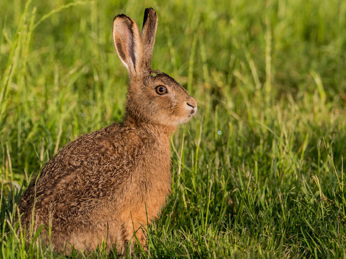 Hare on grassy field