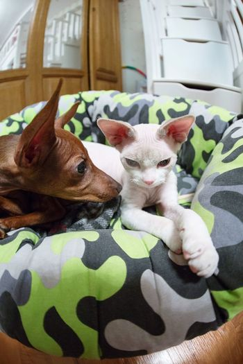Two Is Better Than One indeed Pets Resting Better Together Cuties Minpin Devonrex