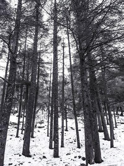 Walking in the woods. Photography Pictures Marrakesh Ifrane Lovephotography  Smartphonephotography Taketheshot ISO Cinematography Moroccanphotography Snowy Marrakechphotographer Snow Morocco Photographypassion Capture Perfectshot Cameralovers Shades Of Winter Tree Low Angle View Day Tree Trunk Full Frame Nature Growth