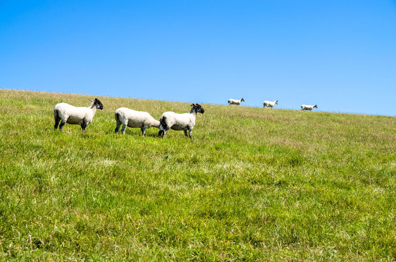 Grass Animal Sheeps Sky Clear Sky Grazing Outdoors Landscape