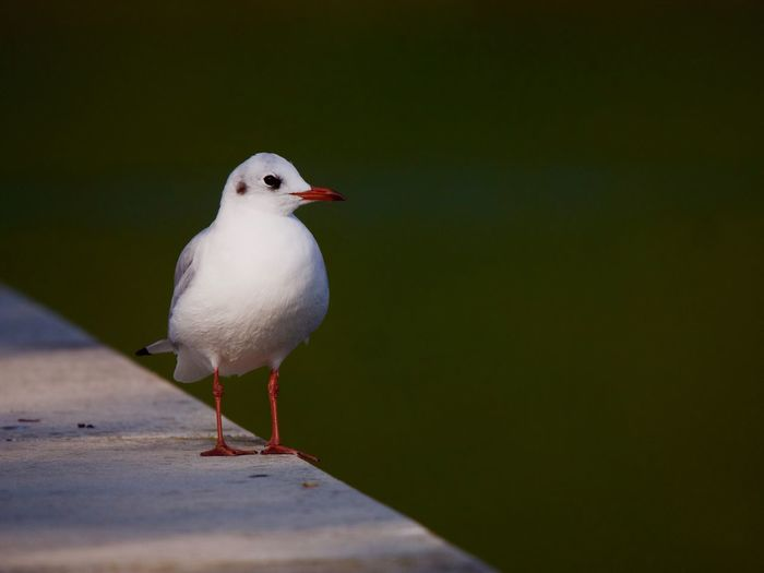 Bird Animal Themes Animal Vertebrate Animals In The Wild One Animal Perching Animal Wildlife No People Day Seagull Nature Copy Space Close-up Railing Outdoors Water White Color Sea Bird Full Length
