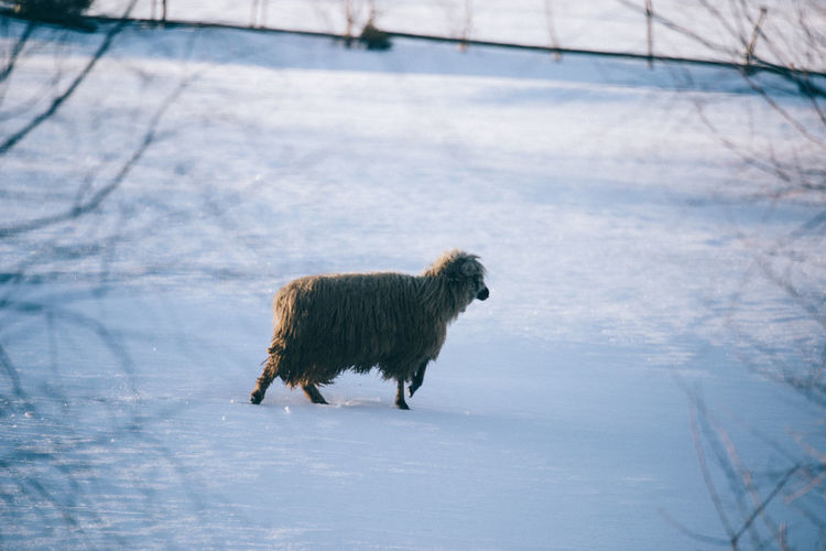 Side view of sheep walking on snow covered field