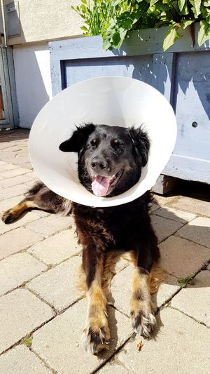 dog have to wear a funnel Funnel Funnel Dog Castrate Castration Ill Ill Dog Health Animal Themes Domestic Animals Canine Pets Dog Portrait Shadow Sunlight Pet Equipment