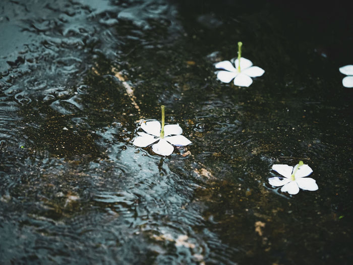 High angle view of white flower floating on water