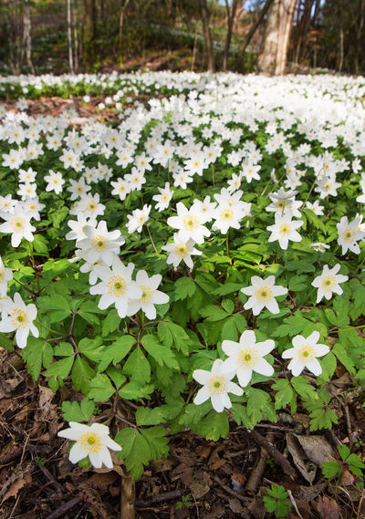 Wood Anemones in the forest Anemone Nemorosa Beauty In Nature Blooming Blossom Botany Flower Focus On Foreground Forest Fragility In Bloom Landscape Nature Plant Spring Spring Flowers Springtime White White Color Wood Anemone