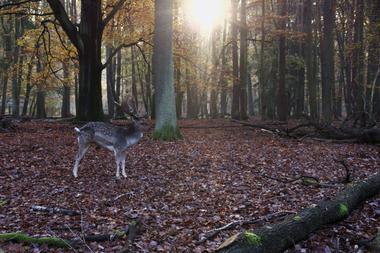 one animal, tree, animal themes, animal, land, mammal, forest, domestic animals, nature, tree trunk, trunk, plant, domestic, day, vertebrate, pets, woodland, no people, autumn, dog, outdoors, change
