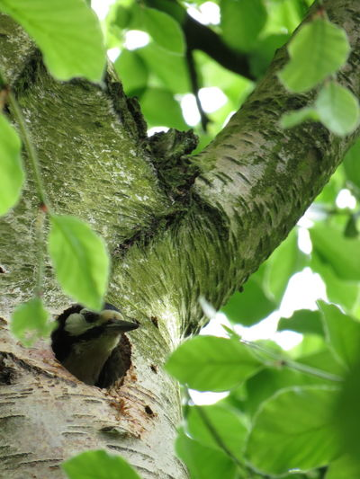 Baby Woodpecker being fed in the tree by parents Great Spotted Woodpecker Tree Baby Bird Baby Birds In Nest Day Feather  Feathers Of A Bird Feeding Time Great Spotted Woodpecker Fledgling Great Spotted Woodpecker Nest Nature No People Outdoors