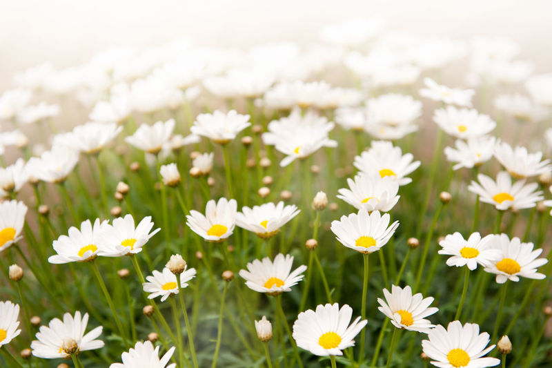 White herb chamomiles clump healthy and decorative flowers in garden. Abloom Bloom Blooming Camomile Camomiles Chamomile Chamomiles Chamomilla Decorative Flower Flowerhead Flowerheads Flowers Herb Herbal Matricaria Chamomilla Mayweed Nature No People Ornamental Plant Plants