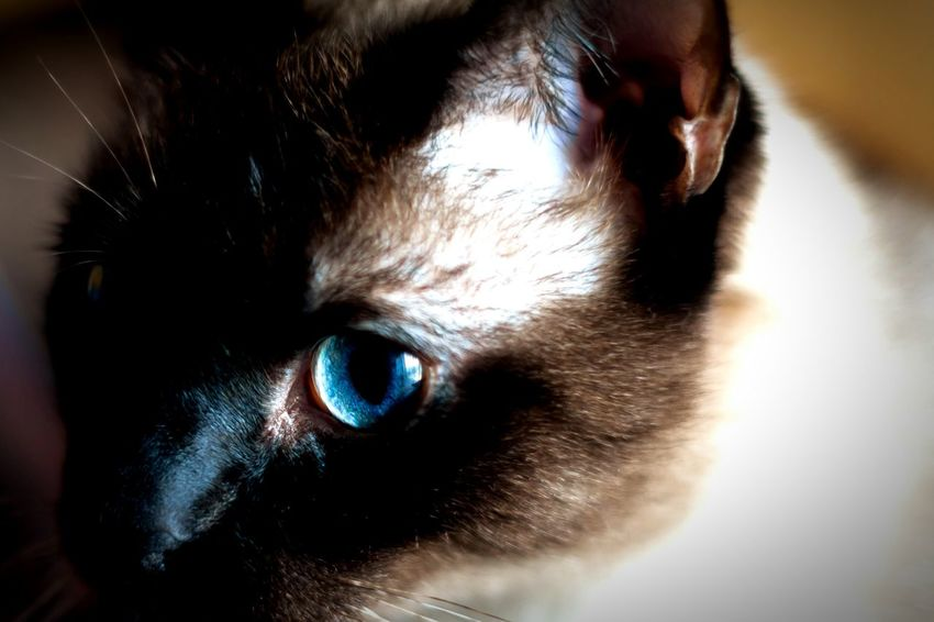 Siamese Cat Enjoying Life Relaxing Chiaroscuro Gallery Blue Eyes Feline Beautiful Beauty In Creation  Magic Bokeh Photography This is my Stax hanging out on my desk soaking up window rays.
