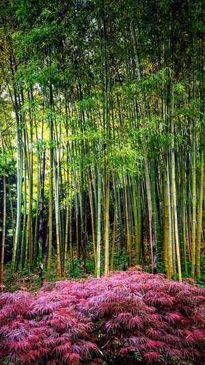 Growth Nature Beauty In Nature Green Color No People Tree Day Lush Foliage Flower Outdoors Tranquility Grass Scenics Plant Freshness Bamboo - Plant Maple Japanese Garden Japanese Style