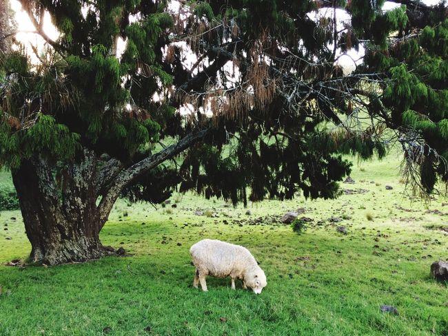 Sheep Sheeps EyeEm Auckland New Zealand Animals EyeEm Animal Lover Animal Holiday Eye Em Nature Lover 2015.Auckland🇳🇿🐏