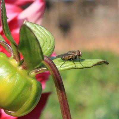 Fly Flower Focus Closeup Canoneos450D Nature Bug Green Housefly Instapic Instaflower Instafly Irfan