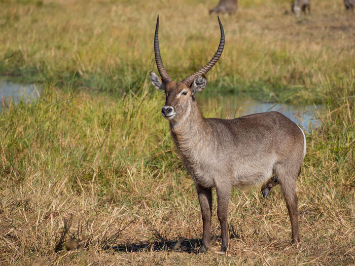 Male waterbuck standing in front of river, moremi game reserve, botswana