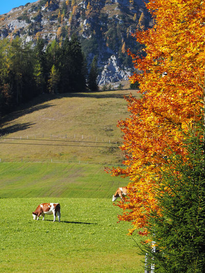 Animal Themes Autumn Beauty In Nature Change Cow Day Domestic Animals Field Full Length Grass Growth Landscape Leaf Mammal Nature No People One Animal Outdoors Scenics Sky Tranquil Scene Tranquility Tree