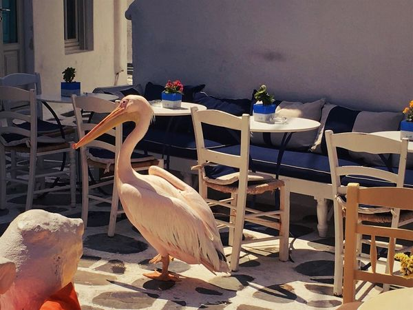 Mykonos,Greece Animal Animal Themes Animal Wildlife Animals In The Wild Architecture Bird Built Structure Chair Day Furniture Group Of Animals Indoors  Nature No People Pelican Perching Seat Setting Sunlight Table Vertebrate Wood - Material