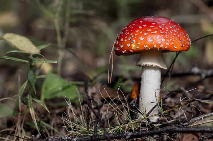 Beauty In Nature Close-up Day Fly Agaric Fly Agaric Mushroom Focus On Foreground Fragility Freshness Fungus Growth Mushroom Nature No People Outdoors Red Toadstool