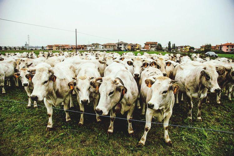 Cow Cows Italia Italy Langhe Milk Piemonte Mondovì The Moment - 2015 EyeEm Awards Nature