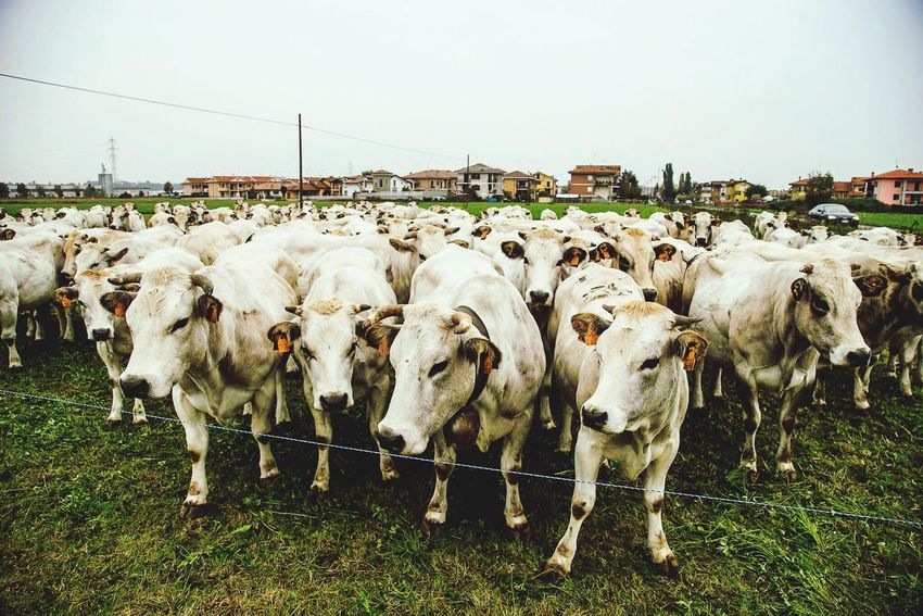Cow Cows Italia Italy Langhe Milk Piemonte Mondovì The Moment - 2015 EyeEm Awards Nature