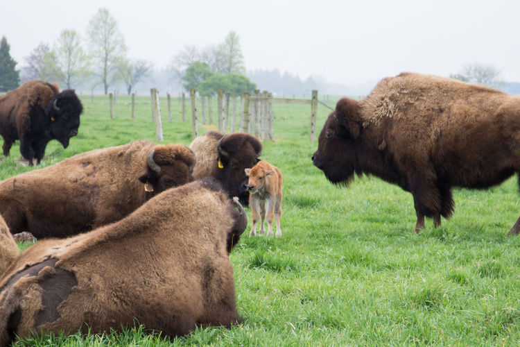 A newborn baby began walking hours after its birth. American Bison Animal Family Baby Batavia Batavia, Illinois Bison Calf Colour Of Life Family Fermi National Accelerator Laboratory Fermilab Field Grass Grazing Growth Herd Mammal Newborn Outdoors