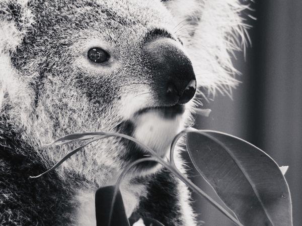 Koala Eating Koala EyeEm Selects Portrait One Animal Headshot Close-up Mammal Domestic Animals Animal Mouth Lifestyles Looking At Camera