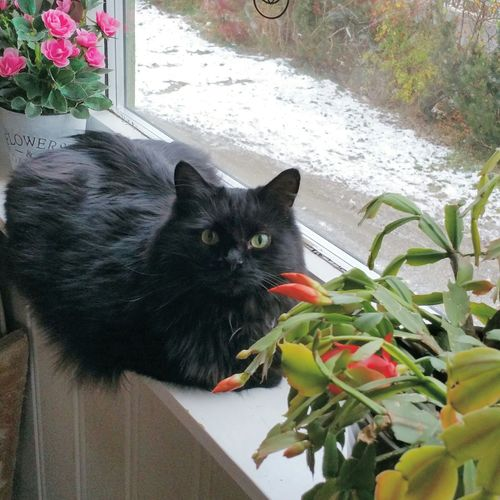 Stompen from Norway 💖 Black BLackCat Beautiful Cat Lovers Cat Cats Blackcatlove Family Norwegian Love Norwegian Winter November 2015 November Home Sweet Home My Cat Is Cooler Than Your Kids! Pets Corner