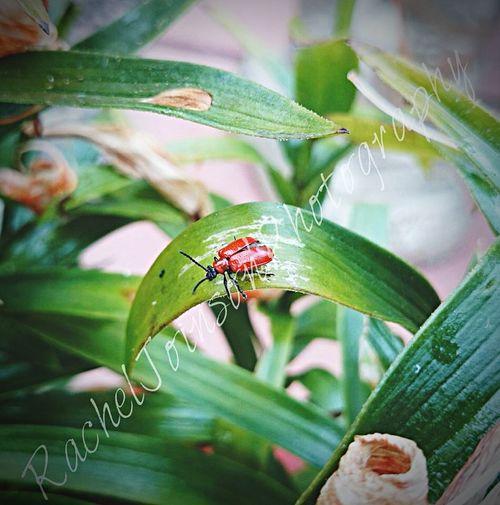 Lilybug  lily Beatle