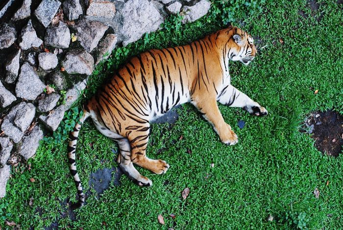 Asian Tiger sleeping on green grass Stone Fence Zoo Lazy Carnivore Stripes Asian Tiger Animal Themes Animal One Animal Mammal Animal Wildlife Feline Animals In The Wild Big Cat Animal Markings Tiger Nature High Angle View Vertebrate No People Grass Relaxation Cat Green Color