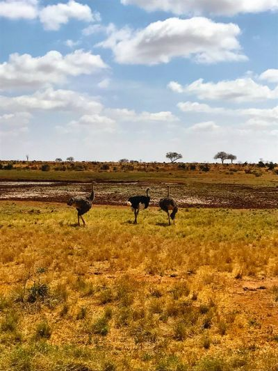 Sky Grass Animal Themes Landscape Nature Animals In The Wild Large Group Of Animals Field Day Beauty In Nature Safari Animals No People Scenics Africananimals Africa Ostriches Savannah Animal Wildlife Freedom Safari Ostrich Tsavo Est Travel Destinations