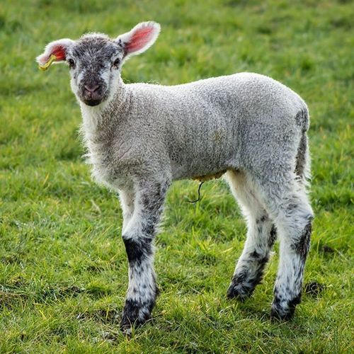 Spring lambs so joyful and cute 😆 Lamb Farmanimals Farmyard Igcutest_animals Explore_britain Bestukpics Canon Canon600D Amateurs_shot Amateurphotographer  Cuteanimals Photooftheday Sheep Animalphotography Animal