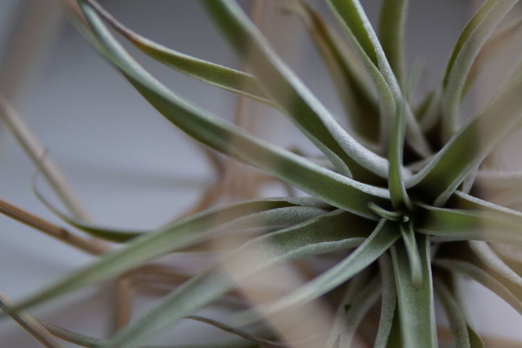 Air Plant Tillandsia Air Plants Close-up Decoration Freshness Furniture Green Color Growth Houseplant Indoor Plant Indoor Plants Indoors  Leaf Nature Plant Still Life