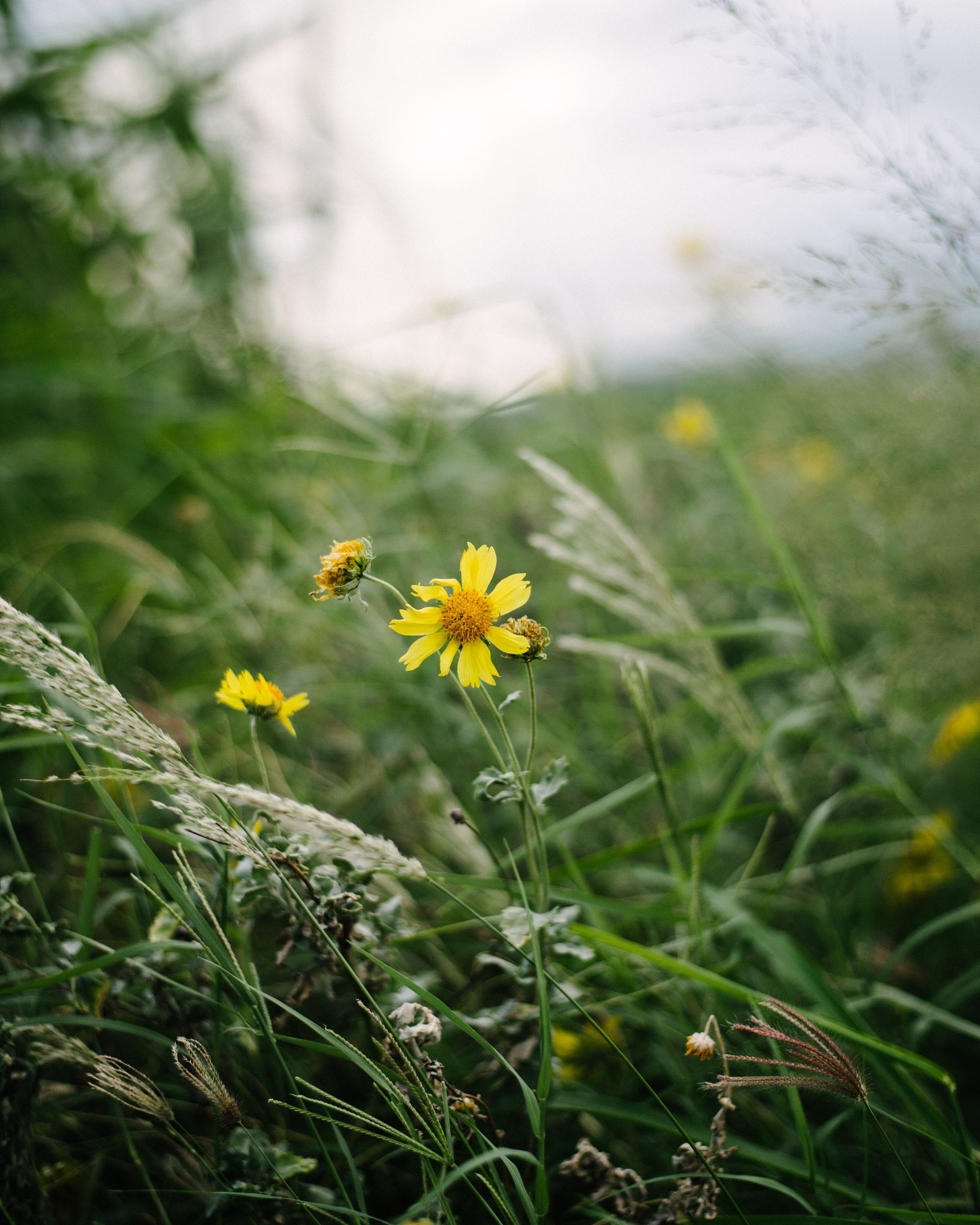 flower, freshness, fragility, yellow, growth, petal, flower head, beauty in nature, focus on foreground, blooming, field, plant, nature, close-up, stem, in bloom, wildflower, selective focus, daisy, single flower