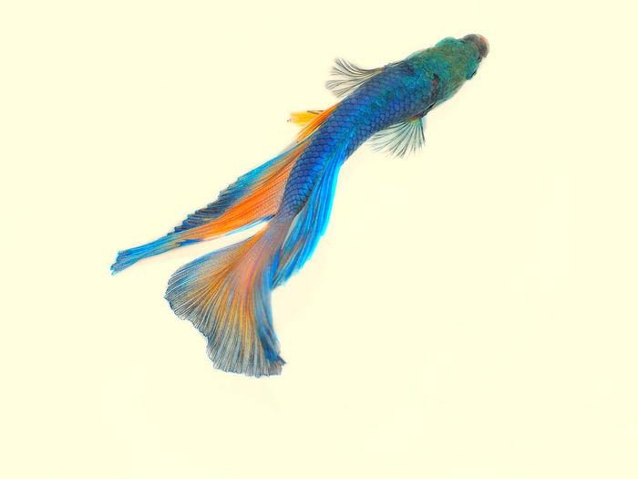 Animal Themes Blue Close-up Fish Indoors  Nature Studio Shot White Background