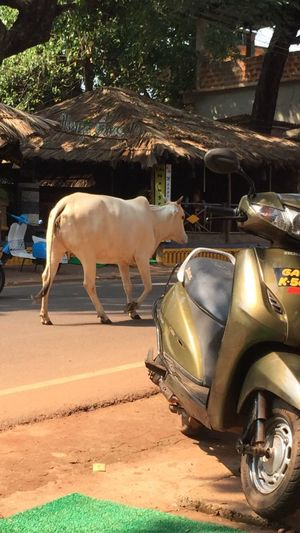 Goa India Animal Animal Themes Mode Of Transport Scooter Cow Sacred Animal Culture One Animal Street Scenery Normality  Holiday