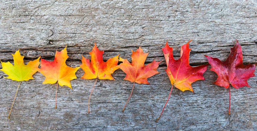 Leafs changing colors Autumn Leaves Fall Autumn Changing Colors Leafs Leaves On Wood Wooden Table Aging Yellow Orange Red Maple Oak Season  Text Multi Colored Textured  No People Vibrant Fall Season Autumn Colors Gradient Background