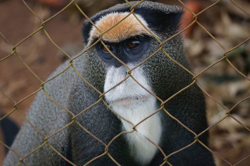 One Animal Chainlink Fence Cage Animal Themes Monkey Animal Wildlife Mammal Zoo No People Animals In Captivity Animals In The Wild Close-up Focus On Foreground Trapped Day Outdoors Nature Baboon