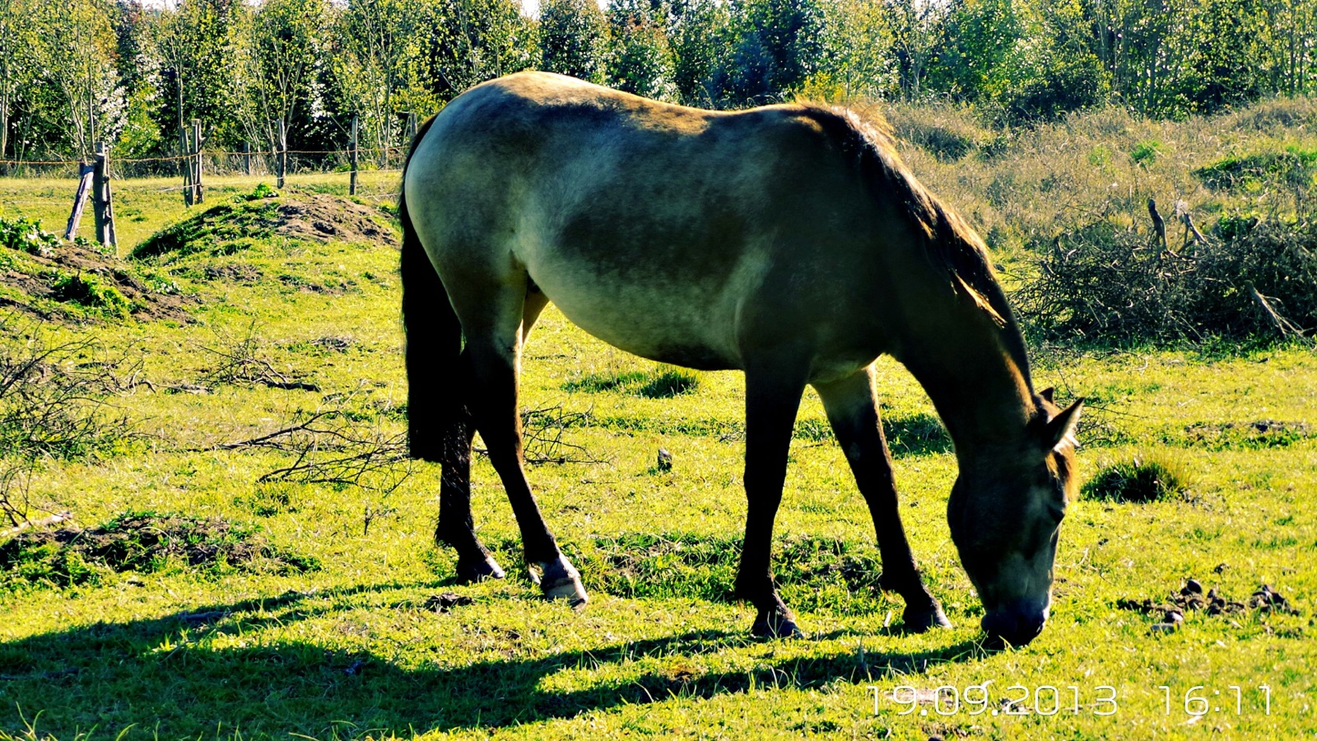 grass, horse, field, domestic animals, animal themes, mammal, standing, full length, grassy, grazing, tree, green color, one animal, livestock, walking, herbivorous, nature, landscape, side view, growth