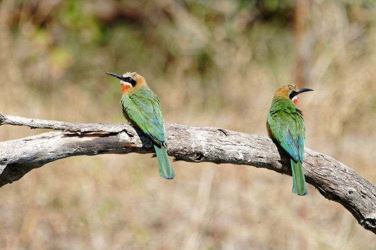 Two bee-eaters looking left and right on dead branch Dead Branch Dead Tree Dead Wood Bee-eater White-fronted Bee-eater Merops Bullockoides Namibia Caprivi Africa Okovango Okovango River Cubango River River EyeEm Selects Bird Perching Tree Branch Multi Colored Full Length Blue Tail Beak Living Organism Tropical Bird Wildlife Reserve HEAD