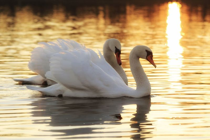"""Only with you"" Romantic Animals In The Wild Bird Swan Animal Themes Lake White Color Water Swimming One Animal Animal Wildlife Water Bird Nature No People Swimming Animal Rippled Floating On Water Outdoors Day Beak Schwan  Michael Hruschka Sunset Love Sonnenuntergang"
