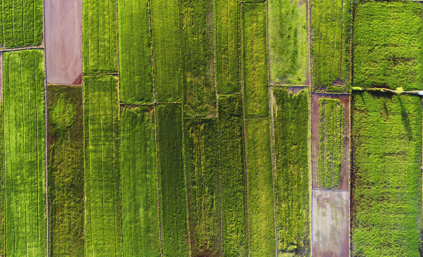 Beautiful pattern of paddy field captured from a drone. Bamboo - Plant Bamboo Grove Beauty In Nature Close-up Day Forest Freshness Grass Green Green Color Growth Nature Nature, Landscape, Green, View, Rural, Farm, Agriculture, Field, High, Grass, Environment, Summer, Land, Aerial, Air, Beautiful, Sky, Food, Grow, Top, Plant, Harvest, Pattern, Earth, Ground, Natural, Survey, Angle, Flying, Above, Background, Country, Terr No People Outdoors Tranquility Tree Tree Trunk