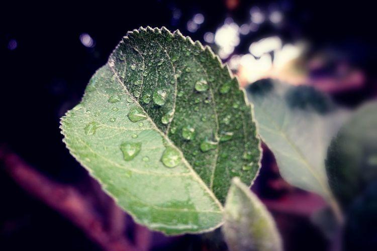 dew Apple Leaves Apple Tree Leaves Leaf Water Drop Close-up Green Color Leaf Vein Dew Droplet RainDrop Plant Life Leaves