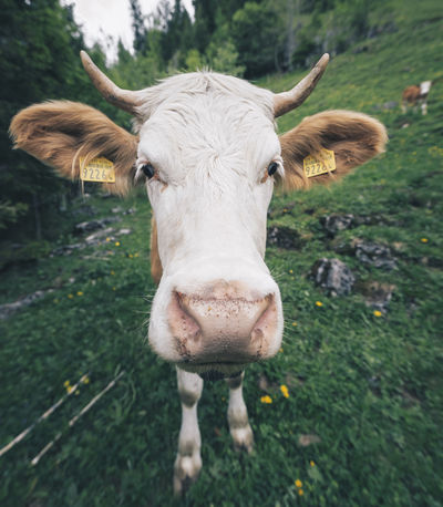Cow portrait on a hike to a waterfall. Cow Head Animal Animal Head  Animal Portrait Animal Themes Cattle Cow Day Domestic Domestic Animals Domestic Cattle Field Herbivorous Land Livestock Looking At Camera Mammal Nature No People One Animal Outdoors Pets Plant Portrait Vertebrate