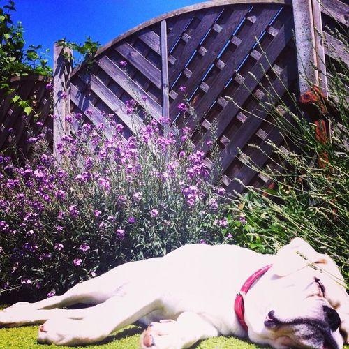 Boxer Dogs Relaxing Garden Flowers Dogstagram Enjoying Life Hello World Hanging Out Seflie Cheese!