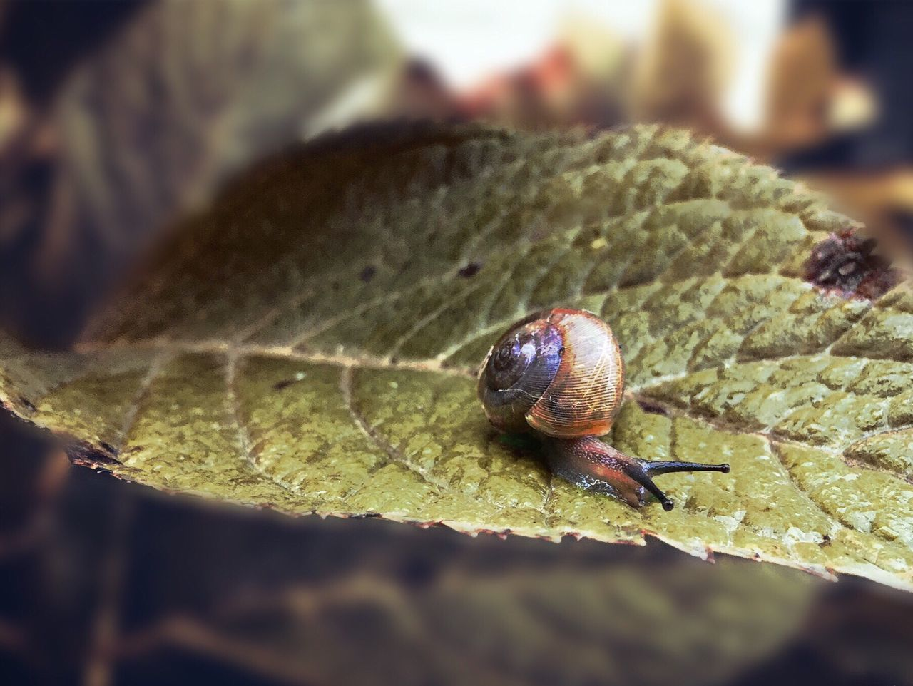 animal wildlife, animal, animal themes, one animal, invertebrate, close-up, animals in the wild, plant part, leaf, gastropod, mollusk, selective focus, no people, snail, insect, nature, green color, shell, animal body part, day, small