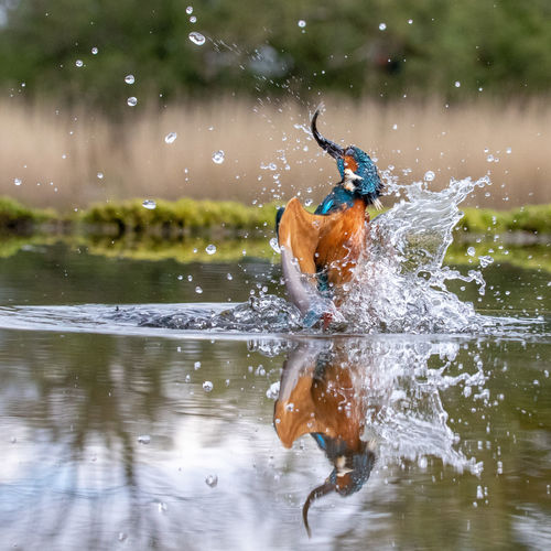 Kingfisher hunting fish in lake