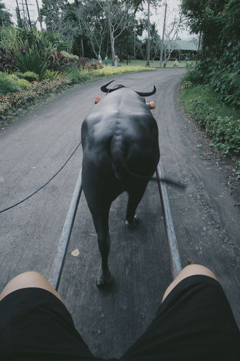 Animal Themes One Animal Mammal Road Transportation The Way Forward Personal Perspective Outdoors Footpath Carabao Ride Villa Escudero Province Life My Year My View Traveling Home For The Holidays Adapted To The City The Great Outdoors - 2017 EyeEm Awards EyeEm Ready   It's About The Journey