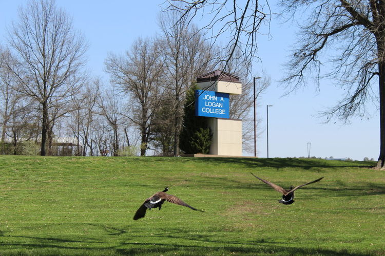 Geese John A Logan College Animal Themes Animal Wildlife Animals In The Wild Bird Nature No People Outdoors Tree