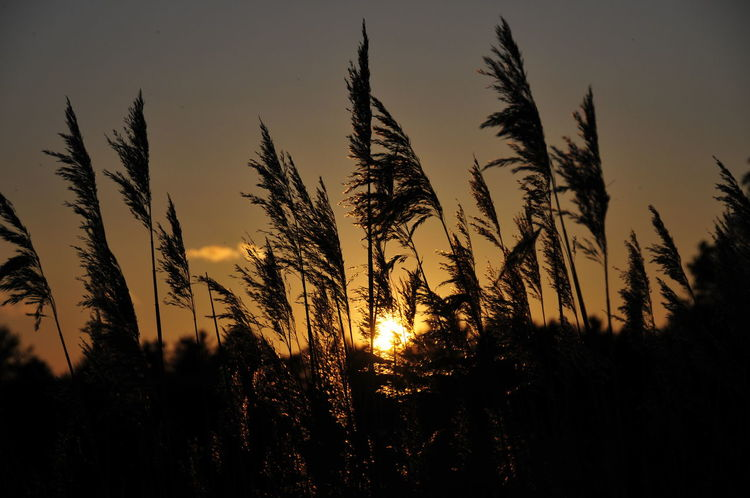 Sonnenuntergang Sonne Abend Abendstimmung Abendsonne Schilf Meer Sun Sunset Nature Gras Agricultural Land Sommer Sommerzeit Summer Nature Sunset Tranquil Scene Tranquility Beauty In Nature Silhouette No People Plant Outdoors