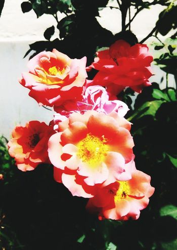 Rosé Flower Head Flower Water Prickly Pear Cactus Petal Red Wild Rose Close-up Plant In Bloom Blooming Blossom Plant Life Botany